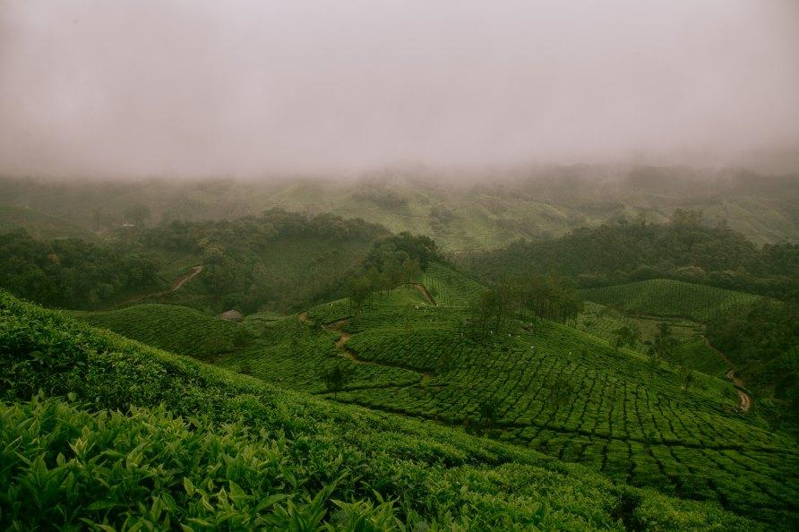 champs de thé indien